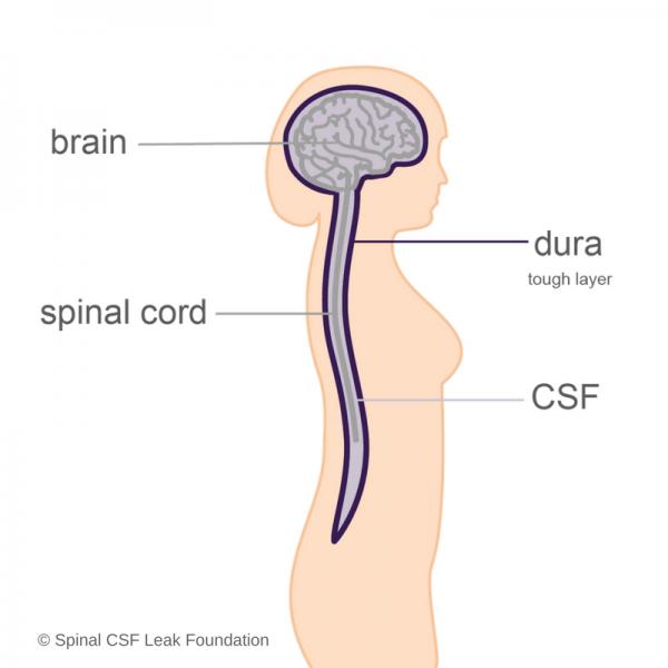 brain-spinal cord-dura-CSF