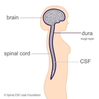 Anatomy of brain-spine-dura-CSF